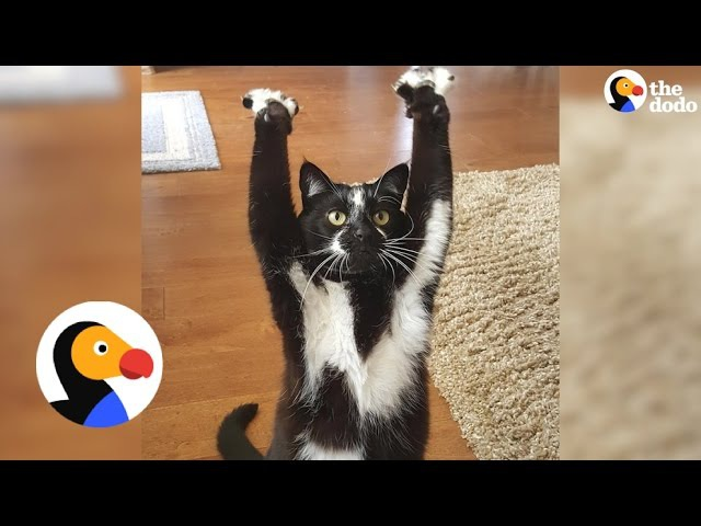 Cat Can't Stop Putting Her Arms In The Air — No One Knows Why | The Dodo