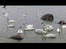Лебеди в Балтийском море. Светлогорск. Август 2017