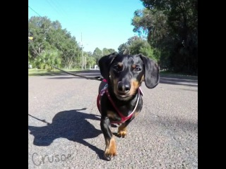 Crusoe the Dachshund Makes the Ladies Stop Stare