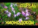 АПРЕЛЬ/ХИОНОДОКСЫ И МУСКАРИ