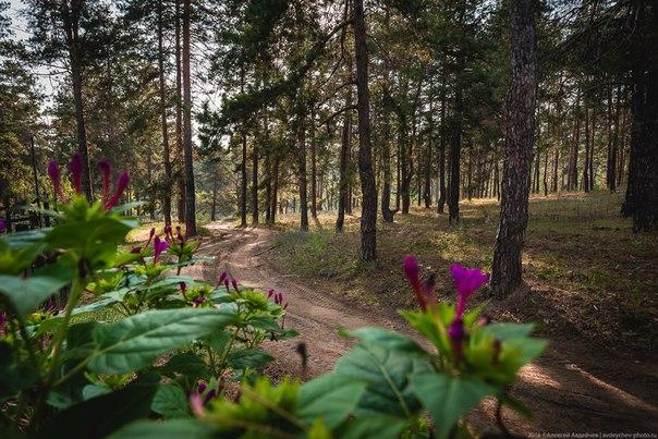 Золотой бор, Самарская область.   Автор Алексей Авдейчев.