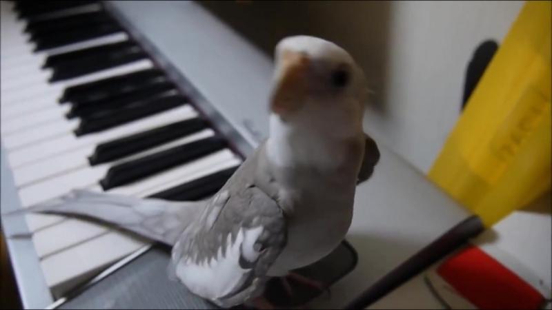 Попугай корелла поет саундтрек -