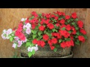 Бальзамин: выращивание и уход