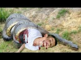 Động vật Giant Anaconda Attacks ►►BAboon vs Lion vs king cobra vs Snake vs Cow vs dog