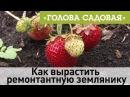 Голова садовая - Как вырастить ремонтантную землянику