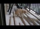 Щенок хаски впервые увидел снег! Очень милое видео!