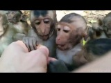 Baby Macaques at Monkey Island, Vietnam (Khu d