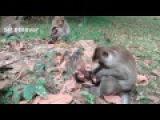 Newborn Monkey Was Dead Part 4 - So Sad Baby Not Yet See Sun Raise