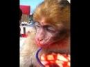 Baby monkey marocco : petit singe trop mignon s'endort dans sa salade de fruits