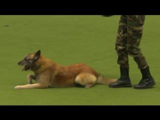 Удивительная собака выполняет искусственное дыхание, приседать и отжиматься на c