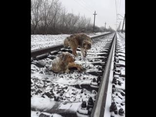 На Украине  пёс двое суток не бросал раненую подругу на железнодорожных путях.