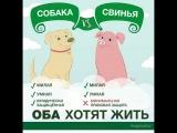 я не увидел разницы между свиньей и собакой, они одинаковые и одинаково чувствуют боль и хотят жить... открой свои глаза