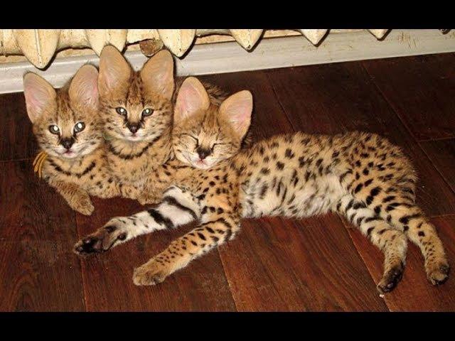 Красивые кошки видео про кошек породы кошек 4 Саванна Ф1 Ф2 Ашера Savannah cat F1 и F2 Ashe
