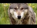 Животный мир. Дикие волки. Жертва Аляски. Место событий. Улики расправы. След хищ ...