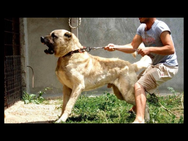 The biggest and most powerful guard dog in the world kangal