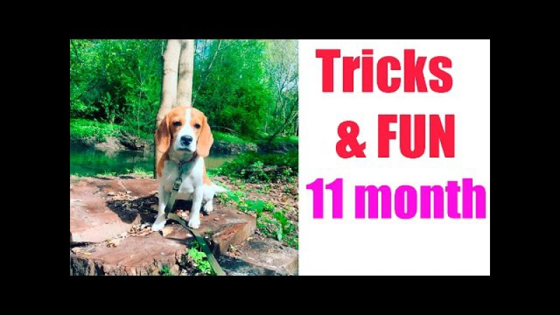 GINA - 11 months - DOG TRICKS AND FUN IN THE SPRING PARK! БИГЛЬ ДЖИНА!