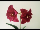 ABC TV | How To Make Amaryllis Paper Flower From Crepe Paper - Craft Tutorial