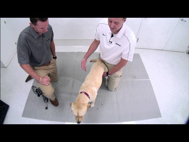 Ортопедический осмотр грудных конечностей у собаки / Demonstration of a Canine Forelimb Orthopaedic Examination