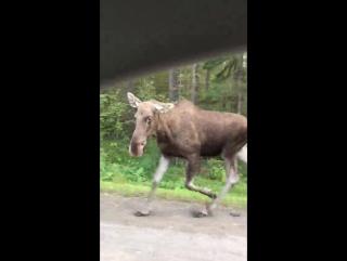 Маленький лось в Перми на ул. Якутская. Видео