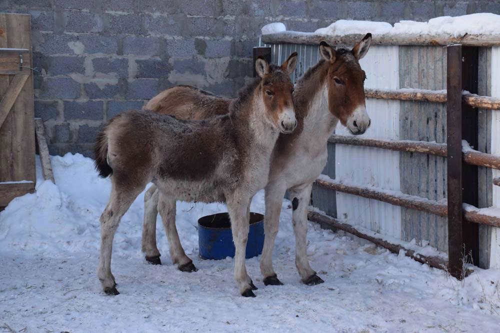 Самка и детеныш кианга в зимнем загоне