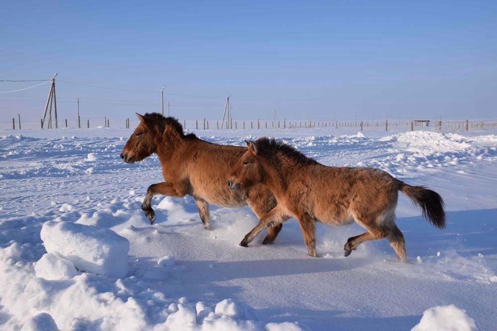 Лошади Пржевальского разминаются на просторе