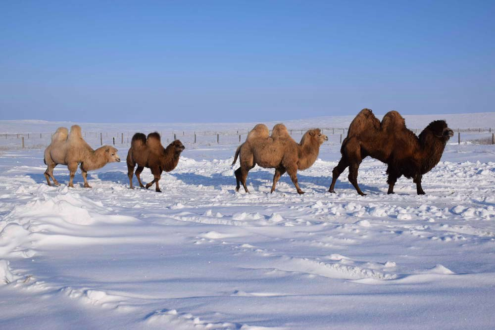 Верблюды в снежной пустыне
