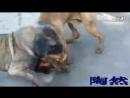 собаки без подписи .Китай. Хороший бой