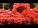 Цветение азалий/Azaleas flowering. Гентские флоралии