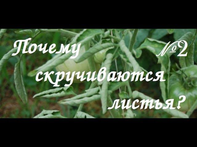 Почему у томатов скручиваются листья Видео ответ №2