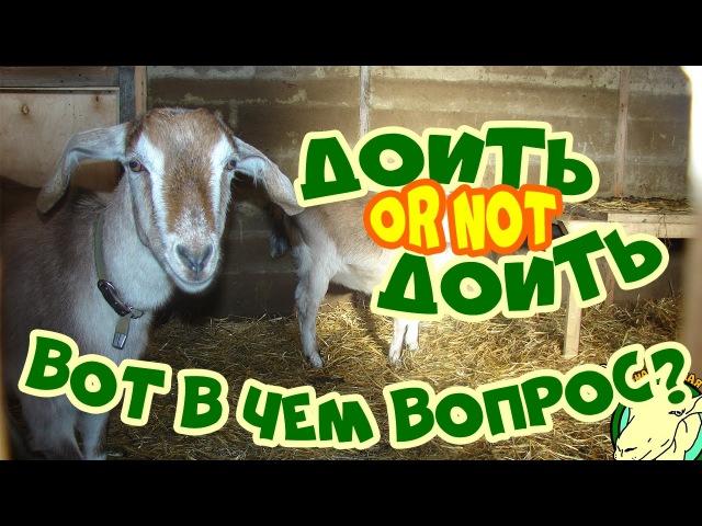 Как запустить и как раздоить козу? Режим кормления и доения в эти периоды.