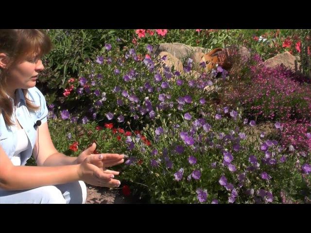 Колокольчик карпатский: выращивание из семян. Цветение в первый год.