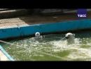 Белая медведица Ника сделала прогноз на матч между сборной России и Мексики
