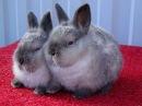 Калифорнийские крольчата с серым налётом брак или стандарт