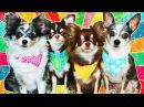 Magic Pets! Собаки блогеры Чихуахуа СОФИ и ЭЙВАН Собака Миша Щенок покемон Юми Чу и д