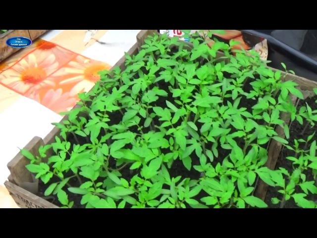 ПОМИДОРЫ - ОТ ПОСЕВА ДО УБОРКИ В ОДНОМ ВИДЕО! Как вырастить отличные помидоры