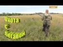 Охота с легавой на полевую дичь
