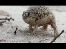 Angry Squeaking Frog - Yeah Boy!