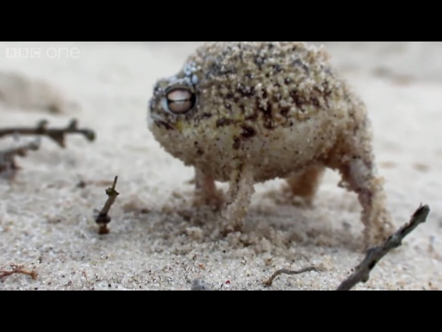 Angry Squeaking Frog -