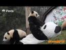 Keeper wears panda costume