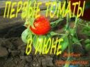 Первый урожай томатов в ИЮНЕ