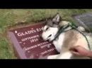 Пёс плачет на могиле хозяйки