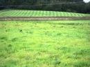 стаффи Lure Coursing 2 Elda staffordshire Bull Terrier