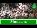 Кустарник миндаль – посадка и уход декоративный миндаль – выращивание, виды и сорта