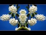 ЧЕРЁМУХА (клип) и необыкновенно красивая мелодия - КРИС  РИ - МОЯ ЛЮБОВЬ