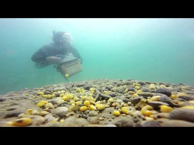 Рыбалка, красивая съёмка карпов под водой, ловля на фидер и метод,карпфишинг