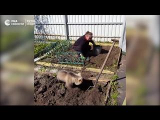 Косолапый огородник Семен