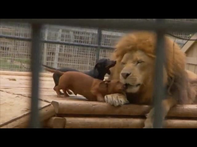 Happy Dachshunds and Lion