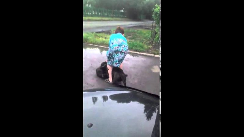 Бешеный стаффорд загрыз таксу в Омске