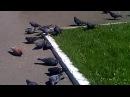 Огромная стая шагает за едой!))КОРОТКО!))Ручные голуби!))
