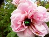 бронзовый жук на розовом шиповнике